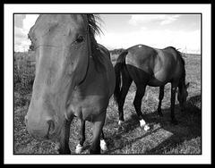 Deux chevaux... et quelques mouches