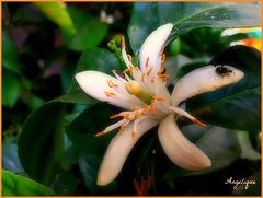 Fleur d'oranger !