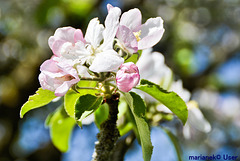 Apple trees have blossomed