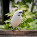 Bali starling (4)