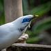 Bali starling (5)