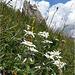 Edelweiss fiore simbolo delle dolomiti
