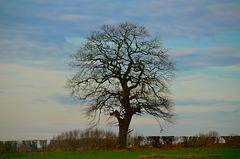 Lone tree, Gnosall