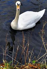 Mute swan, Barrowford reservoir.