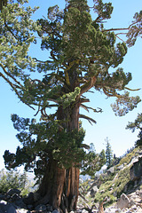Another extremely large juniper