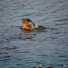 Même dans l'eau.. moi aussi...... j'ai chaud..!