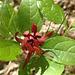 Sweet Shrub Flower
