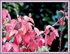 Pink Leaves.