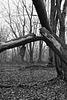 Brisé/Broken tree