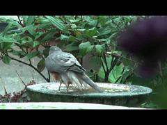 Sparrow hawk Bathing