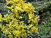 Yellow flowering Tree.