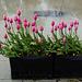 Tokyo, Flowerbed of Pink Tulips in Ueno Park