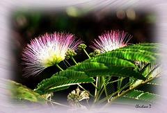Fleurs d'Albizia ***  Albizia flowers