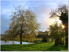 Willow in the evening light