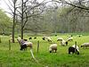 A lot of black sheep in Heerlen...