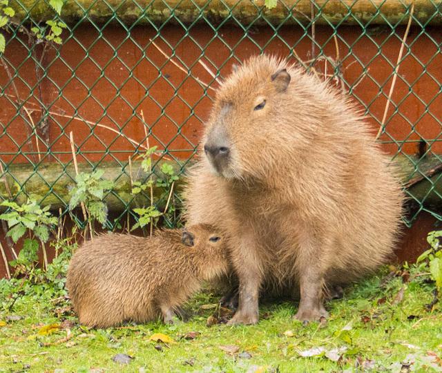 Capybara and its young