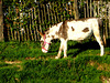 Donkey shot