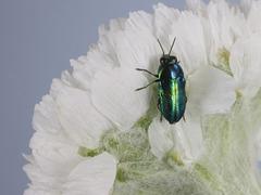 Neocuris sapphira ♂, PL3585