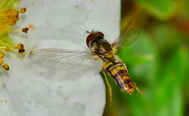 Hovering Hoverfly!!