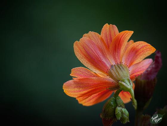 260/366: Behind a Glowing Orange Blossom