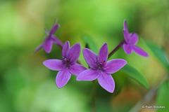 20130207-9328 Pseuderanthemum laxiflorum (A. Gray) F.T. Hubb. ex L.H. Bailey