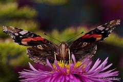 Vanessa atalanta (Red Admiral Butterfly)