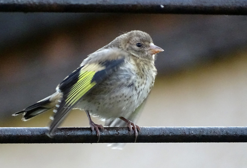 Juvenile  godfinch quivering in anticipation