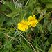 """gdn / wpd - """"wild"""" mimulus flowers"""