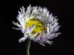 A Windblown Wildflower