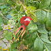 gdn / wpd - red berry [R.rugosa]