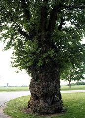 Alter Baum (Eiche)