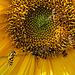 20150706 019PSw [D~RI] Winterschwebfliege/Hainschwebfliege, Gelbbein-Wiesenschwebfliege, Sonnenblume, Rinteln