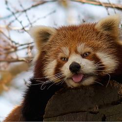 Portrait Red Panda