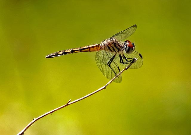 5281325dLL · Dragonfly