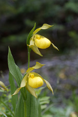Large Northern Yellow Lady's Slipper