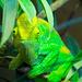 Chameleon.2jpg