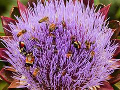 Artichoke flower with different bee species