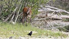 La biche et le corbeau