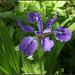 Iris tectorum forme géante (4)