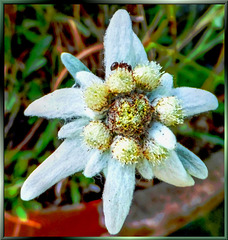Ant exploring the Edelweiss... ©UdoSm