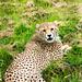 Cheetah (4)