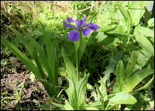 Iris tectorum forme géante (5)