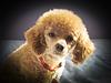 Ma petite caniche Mia - 8 Mois