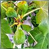 Fig tree in the Allgäu... ©UdoSm