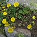 Potentille dorée (Potentilla aurea), Villar d'Arène, Briançonnais (France)