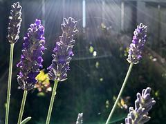 Lavender & Fence
