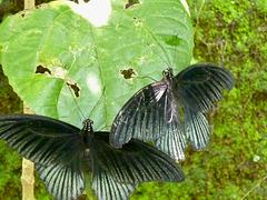 Papillo Polytes
