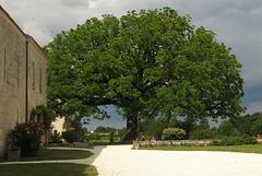 Le noyer d'Amérique de l'Abbaye de Sablonceaux (Charente-Maritime) (Chemin de Compostelle, du Mont-Saint-Michel à Mimizan)