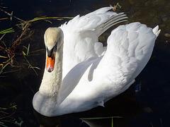 TSC.  The  Swan