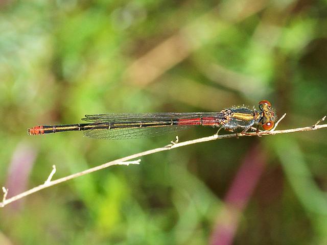 Small Red Damsel f (Ceriagron tenellum f typica) DSC 5521